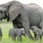 Gajah binatang yang memiliki kemampuan mengingat sangat kuat...